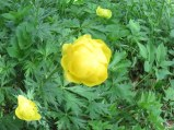 I think this is a ranunculus. Spring flowers were abundant in the meadows.