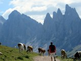 I love this picture of Ric hiking through the cows towards the Puez-Odle group.
