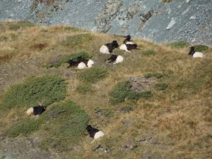 Black & white goats, unique to the Valais, resting in a high mountain pasture.