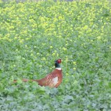 We saw dozens of beautiful pheasants in the countryside. Ric managed to snap one in nice profile.
