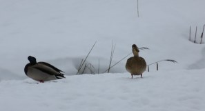 Ducks in snow....the Pillersee has not frozen so the waterfowl are hanging around.