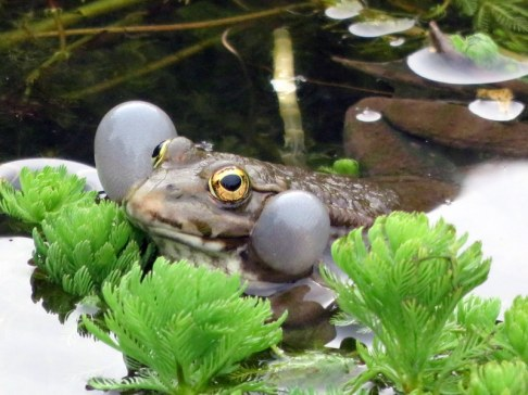 Frog pond, Jardins des Plantes. He was singing and two others were responding. Quite the morning chorus.