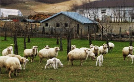 Italian sheep farm or fattoria. Not a factory.