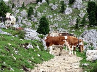 These cows formed a road block on a trail. We had to climb over the rocks to the left to get by. I think they were checking passports.