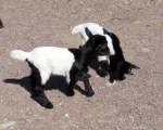 Baby goats, smaller than our cats. Could not have been more than a couple of weeks old.