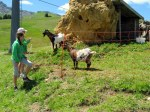 And more goats at Malga Laranzer. Malga means alpine dairy operation.