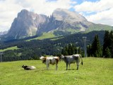 Pasture with a view of the Sassolungo and Sassopiatto. Not bad digs.