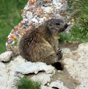Mr. Marmot relaxes below the Seceda gondola.