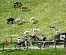 A llama farm near Santa Cristina.