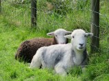 """As I understand it, the brown sheep is the offspring of the white one. This """"little"""" guy is hiding behind mama."""