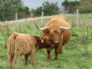 "Highland Cattle are often called ""Hairy Coos"" or ""Hielan Coos."" Love the baby seeking reassurance from mama."