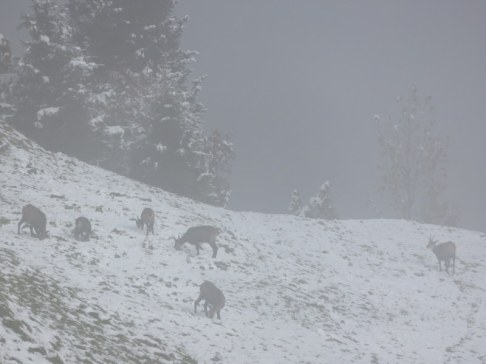 When we got to Mürren, fog rolled in. I love the chamois grazing in fog. When we got back to the valley there was bright sunshine.
