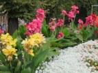 Late season canna lilies, Alba.