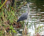 Heron in the pond at Bletchley Park.