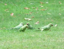 Kew Gardens and Hyde Park are both full of these little green parrots.