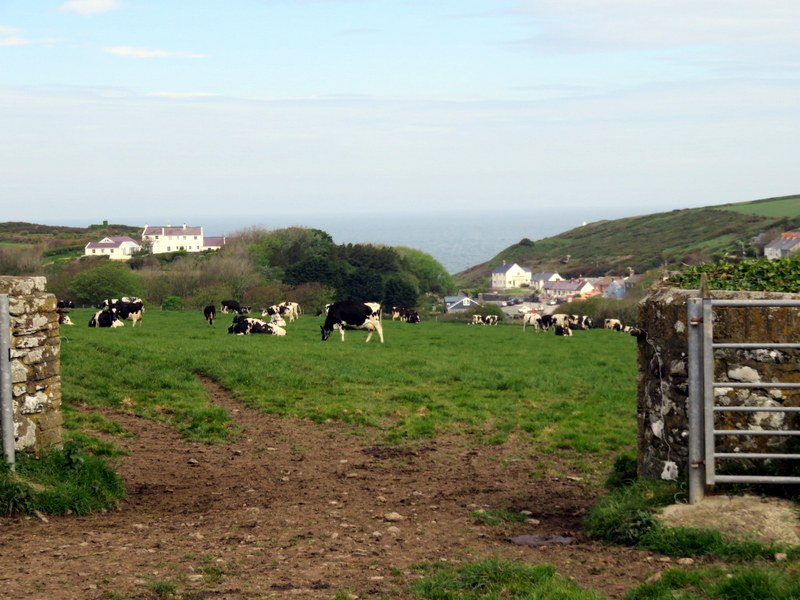 Cows with village