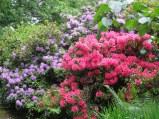 Rhododendrens