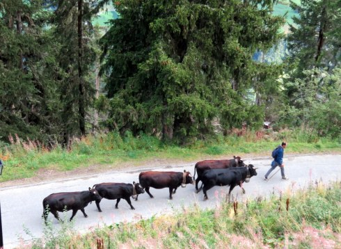 Cows on a road