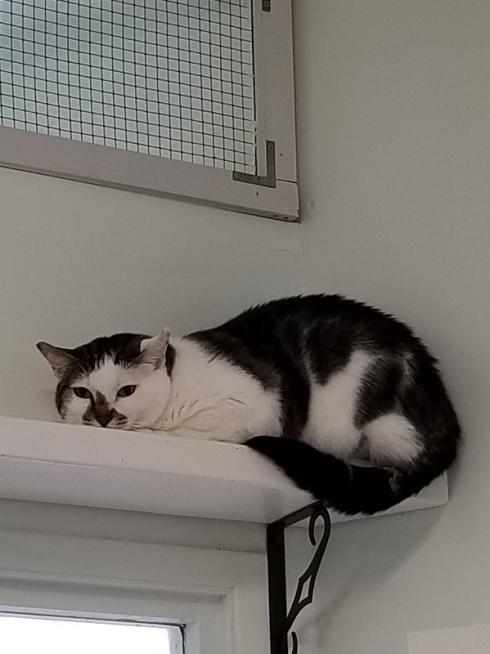 cat on a shelf