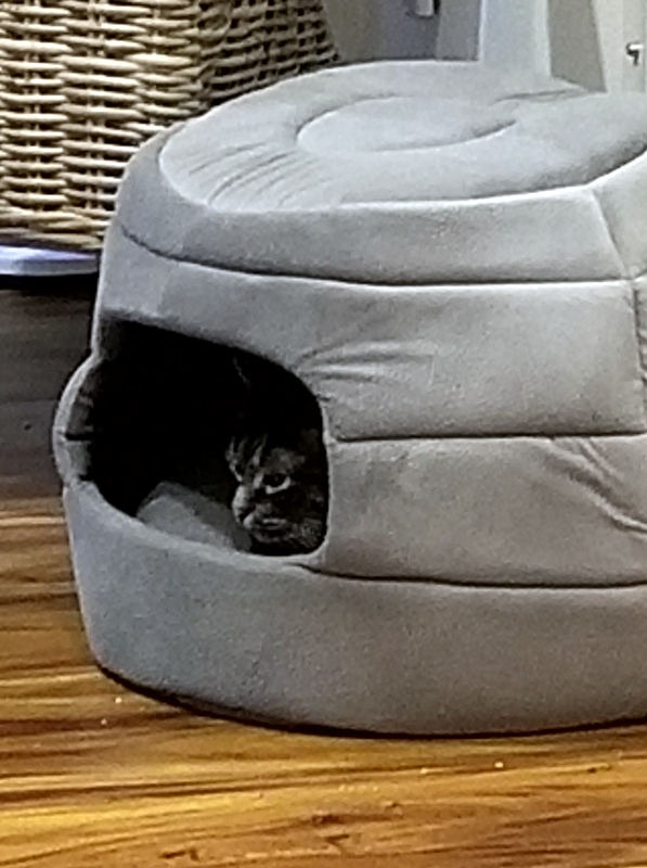 Cat in a covered bed